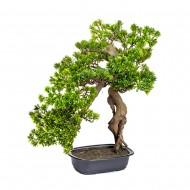 Дерево Бонсай в горшке 55 см