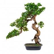 Дерево Бонсай в горшке 86 см